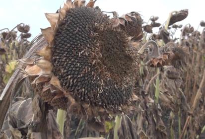 Бельцкий селекционер поделился секретом богатого урожая подсолнуха